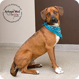 Hound (Unknown Type) Mix Dog for adoption in Troy, Ohio - Denver