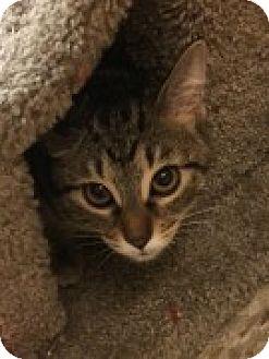 Domestic Shorthair Kitten for adoption in McHenry, Illinois - Dublin