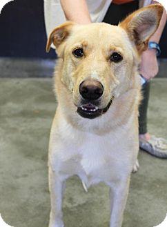 Collie/Labrador Retriever Mix Dog for adoption in Wilkes Barre, Pennsylvania - Ellie