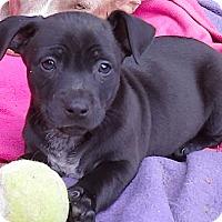 Adopt A Pet :: Little Cracker Jack**Video* - Pasadena, CA