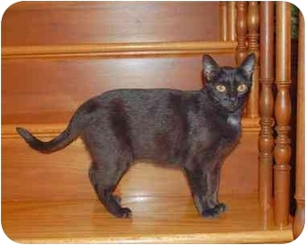 Bombay Cat for adoption in Taylor Mill, Kentucky - Annie-$35.