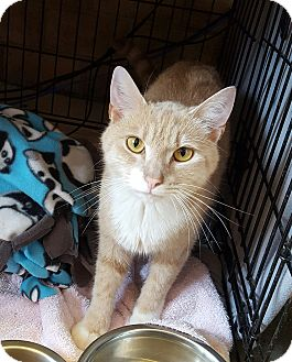 Domestic Shorthair Cat for adoption in Monroe, North Carolina - Petey