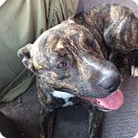 American Pit Bull Terrier/Bullmastiff Mix Dog for adoption in Sedan, Kansas - Tank