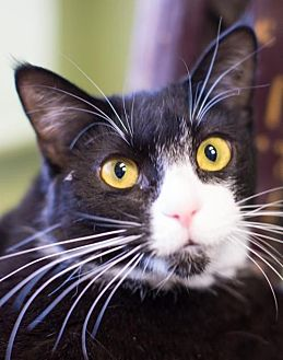 Domestic Shorthair Cat for adoption in Auburn, California - Flop