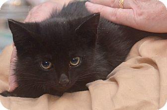 American Shorthair Kitten for adoption in Brooklyn, New York - Hyundai