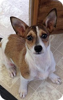 Corgi/Fox Terrier (Toy) Mix Puppy for adoption in KITTERY, Maine - TRAPPER