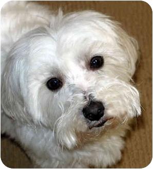 Maltese Dog for adoption in Los Angeles, California - CODY
