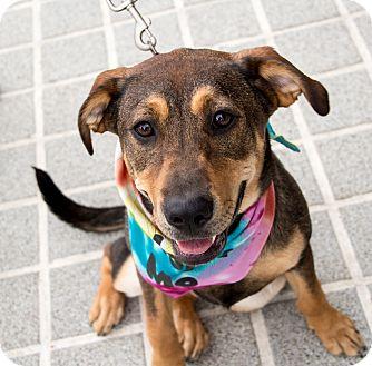 Shar Pei/Shepherd (Unknown Type) Mix Dog for adoption in Richmond, Virginia - Ferdinana