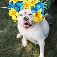 American Bulldog Mix Dog for adoption in Fresno CA, California - Cali
