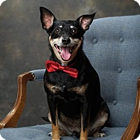 Adopt A Pet :: Batman - Lincoln, NE