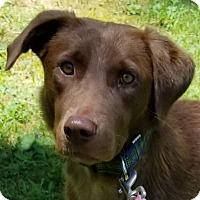 Labrador Retriever/Chesapeake Bay Retriever Mix Dog for adoption in Alexandria, Virginia - Megan