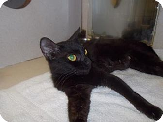 Domestic Shorthair/Domestic Shorthair Mix Cat for adoption in Palm Coast, Florida - Eva