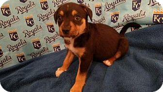 Australian Cattle Dog/Terrier (Unknown Type, Medium) Mix Puppy for adoption in Mission, Kansas - House of Cards