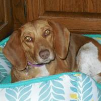Adopt A Pet :: Momma Marge - Whiting, IN