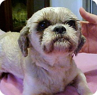 Lhasa Apso Dog for adoption in Anderson, South Carolina - Angie