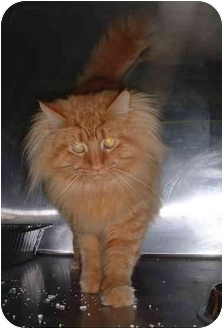 Domestic Longhair Cat for adoption in Honesdale, Pennsylvania - Sunny