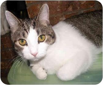 Domestic Shorthair Cat for adoption in Haughton, Louisiana - Koko