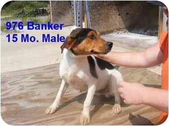 Beagle Mix Dog for adoption in Rochester, New Hampshire - Banker