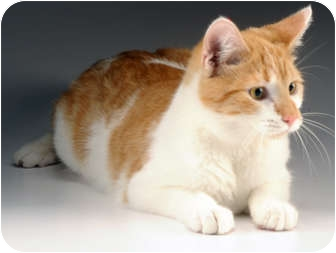 Domestic Shorthair Kitten for adoption in Cincinnati, Ohio - Karat