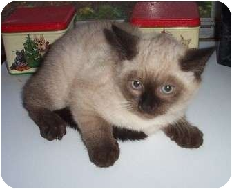 Siamese Kitten for adoption in Columbia, South Carolina - Max