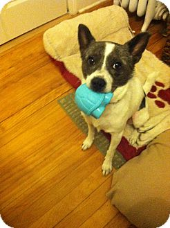Terrier (Unknown Type, Medium) Mix Dog for adoption in Worcester, Massachusetts - Anya