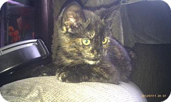 Domestic Shorthair Kitten for adoption in Huntsville, Ontario - Tori - Born in May!