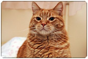 Domestic Shorthair Cat for adoption in Sterling Heights, Michigan - Clem - ADOPTED!