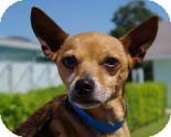 Chihuahua Dog for adoption in Pt orange, Florida - Rebel