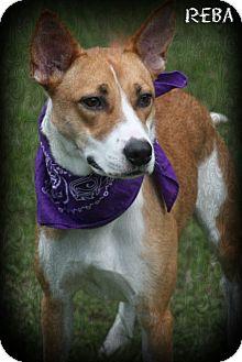 Basenji/Shepherd (Unknown Type) Mix Dog for adoption in Brattleboro, Vermont - Reba