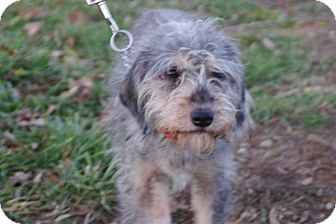 Terrier (Unknown Type, Small) Mix Dog for adoption in Elyria, Ohio - Penny