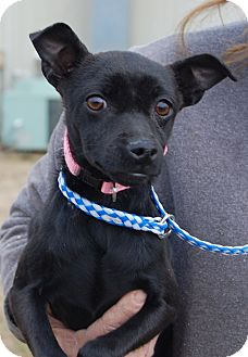 Rat Terrier Dog for adoption in Allentown, New Jersey - Tessa