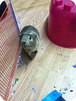 Guinea Pig for adoption in Germantown, Ohio - Ivy