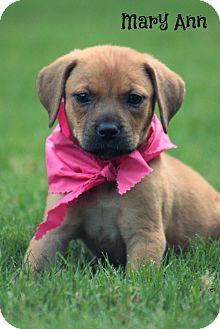 Boxer/Shepherd (Unknown Type) Mix Puppy for adoption in Brattleboro, Vermont - Mary Ann