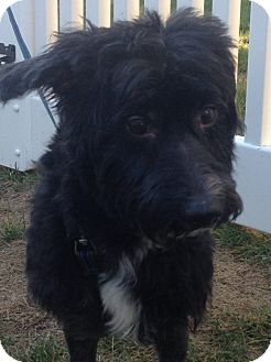 Cocker Spaniel/Poodle (Standard) Mix Dog for adoption in Worcester, Massachusetts - Cody