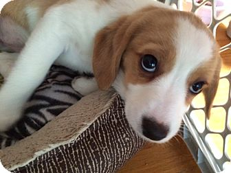 Beagle/Cocker Spaniel Mix Puppy for adoption in Baltimore, Maryland - Biscuit