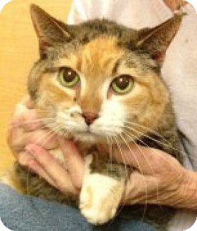 Calico Cat for adoption in McHenry, Illinois - Tootsie