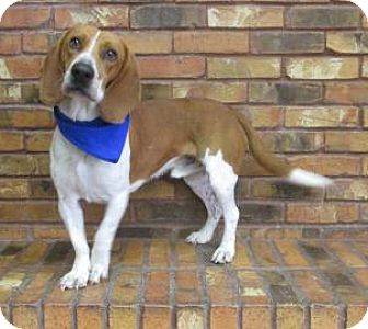 Beagle/Basset Hound Mix Dog for adoption in Benbrook, Texas - Prosper