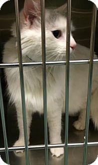 Domestic Shorthair Cat for adoption in Parma, Ohio - Aerosmith