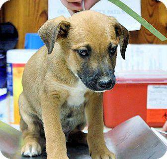 Labrador Retriever Mix Puppy for adoption in Cooperstown, New York - Kobee