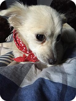 Spaniel (Unknown Type)/Chihuahua Mix Dog for adoption in Calgary, Alberta - BAILEE