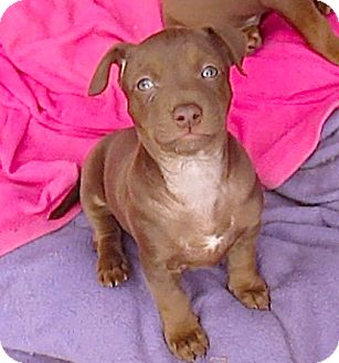Pit Bull Terrier Mix Puppy for adoption in Pasadena, California - Little Coco**Video*