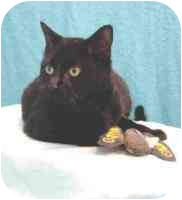 Domestic Shorthair Cat for adoption in Gloucester, Virginia - Cee Cee