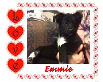 Border Collie Mix Puppy for adoption in Iowa, Illinois and Wisconsin, Iowa - Emmie