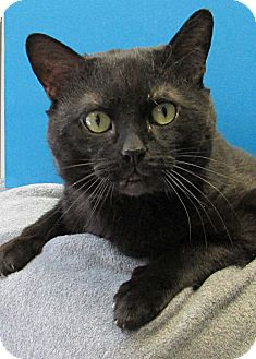 Domestic Shorthair Cat for adoption in Washingtonville, New York - Sammy
