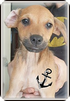 Chihuahua/Miniature Pinscher Mix Puppy for adoption in Los Angeles, California - Sarge