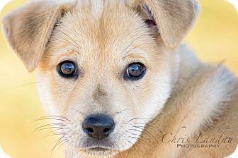 German Shepherd Dog/Labrador Retriever Mix Puppy for adoption in Greenfield, Wisconsin - Riley
