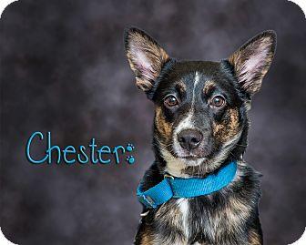 German Shepherd Dog/Australian Cattle Dog Mix Puppy for adoption in Somerset, Pennsylvania - Chester