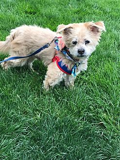Shih Tzu/Poodle (Miniature) Mix Dog for adoption in Mentor, Ohio - Murray