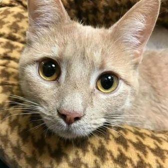 Domestic Shorthair/Domestic Mediumhair Mix Cat for adoption in Elk Grove Village, Illinois - Charlie