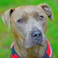 American Pit Bull Terrier Mix Dog for adoption in Annapolis, Maryland - Tupac Gus